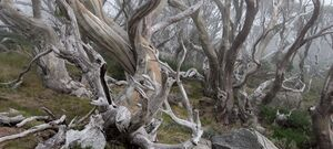 Snowy Mountains - Snow Gums Fog