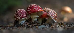 Toadstill Mushrooms - The Neck - Hawea Lake - New Zealand