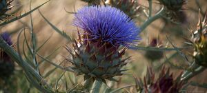 Thistle Flower Avalon Airport